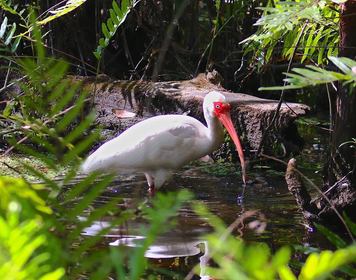 B - White Ibis