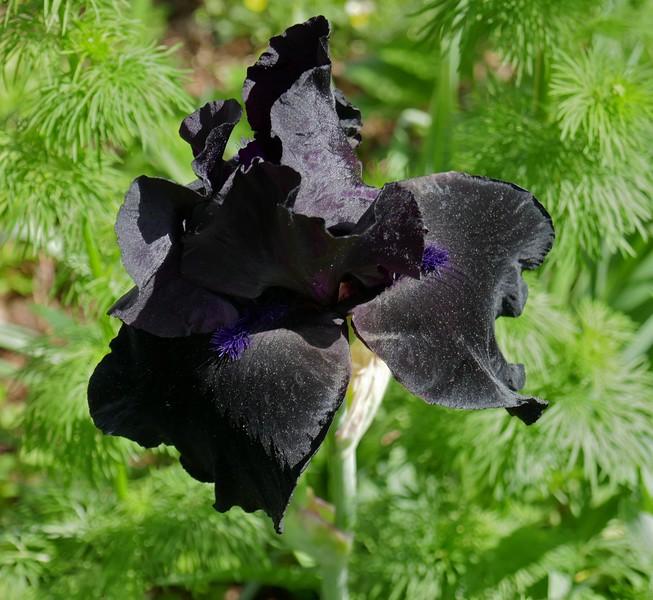 W - Iris at Green Spring Gardens