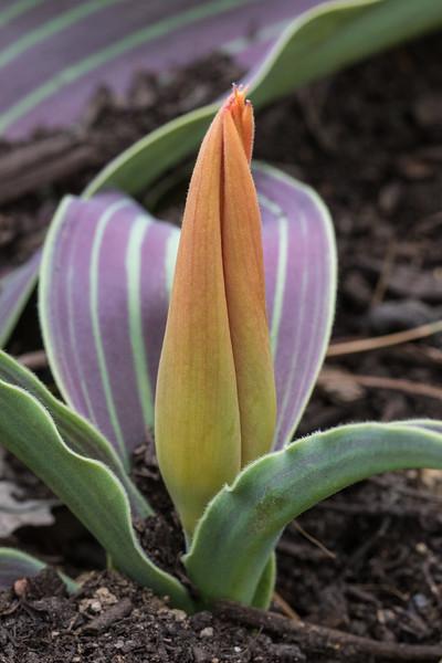 J - Tulipa 'Goldmine'
