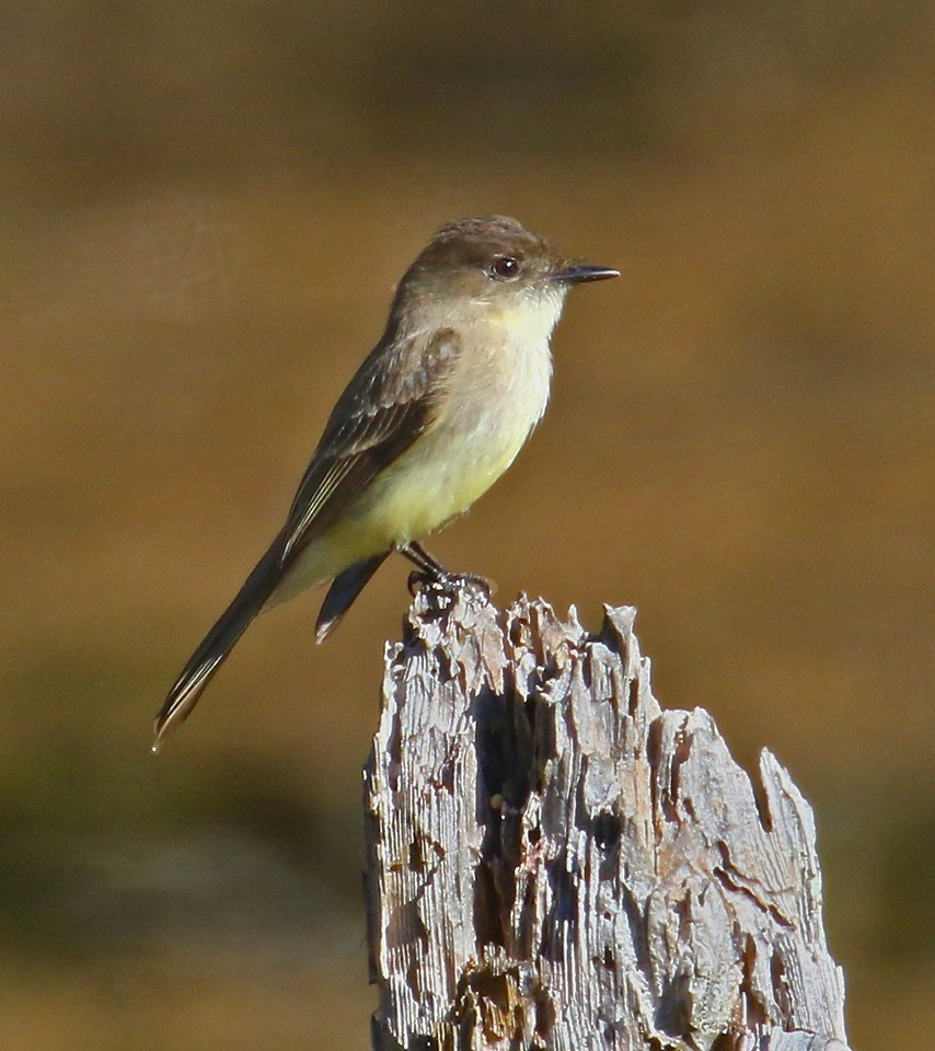 B - Florida Flycatcher