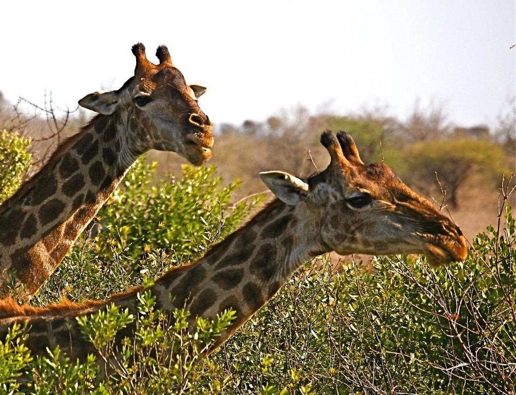 B - Giraffe couple, Krueger NP, SA