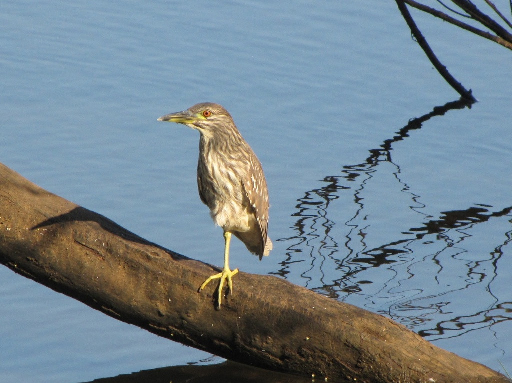W - Juvenile black crowned night heron