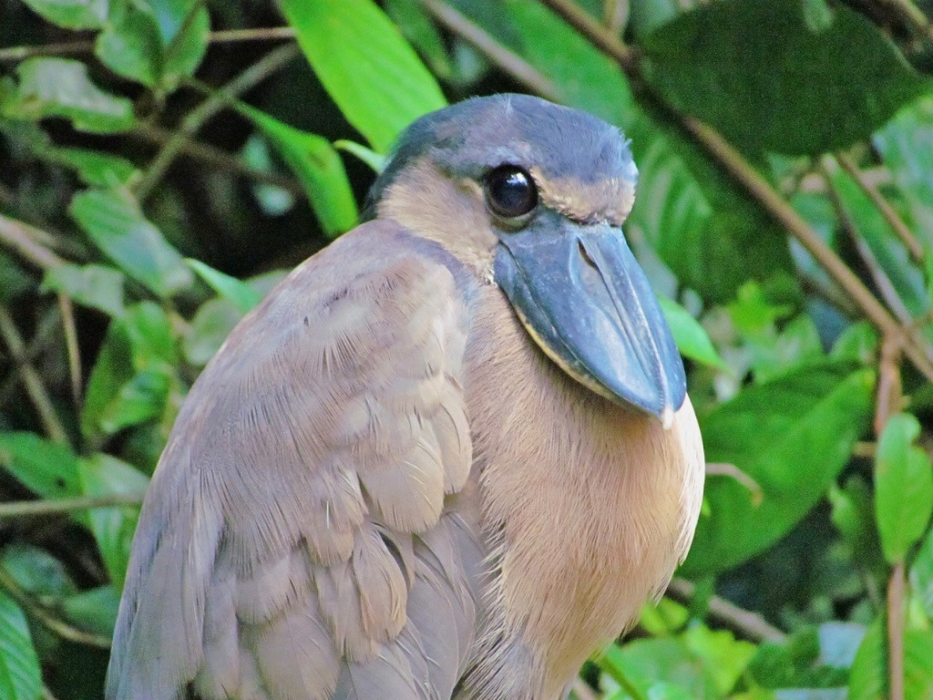 J - Boat-billed Heron