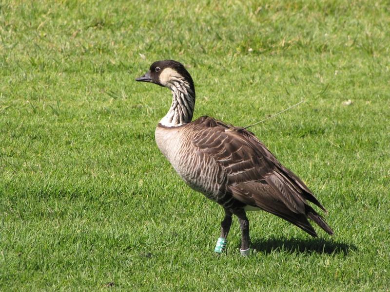 W - Nene Hawaiian goose