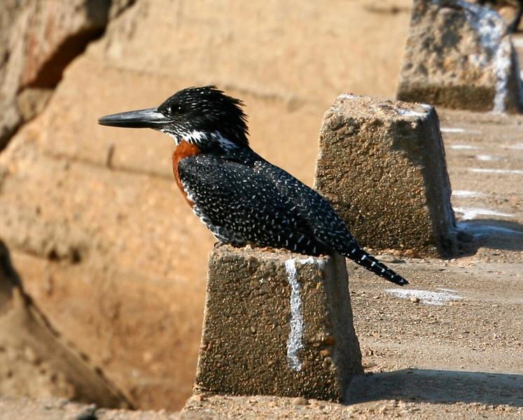B - Giant kingfisher, Krueger NP, SA