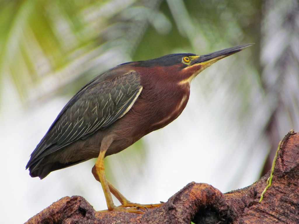 J - Green Heron