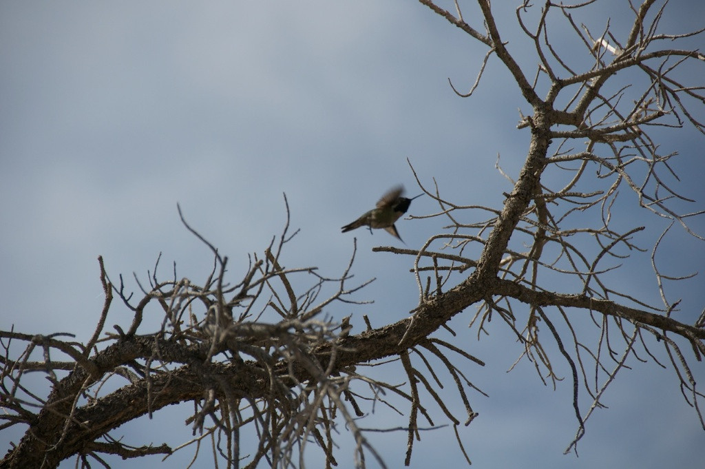 I - Humingbird in Joshua Tree NP