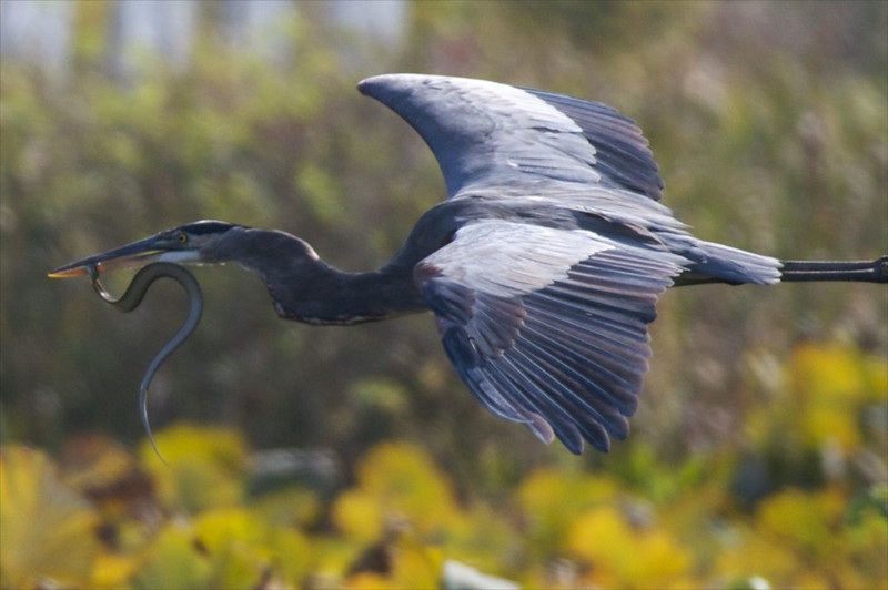 J Great Blue Heron with Snake