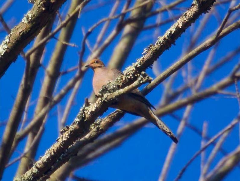 B Mourning dove