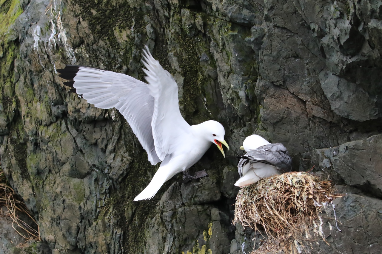 M - Kittiwake marital bliss