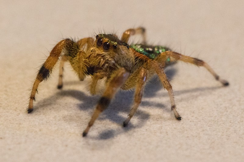 J - Jumping spider from the greenhouse