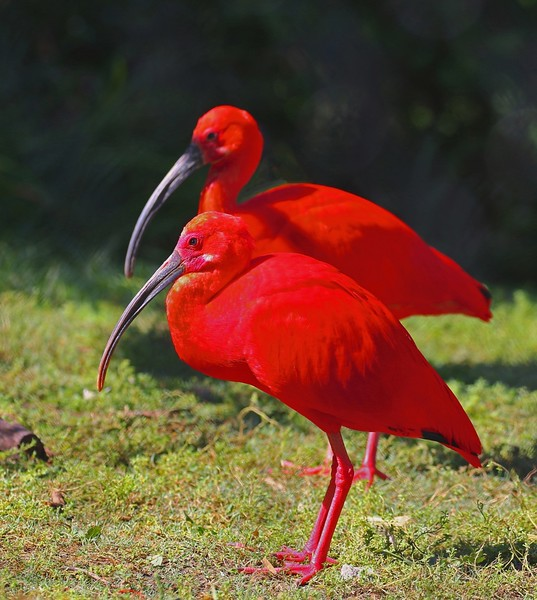 B - Scarlet Ibis