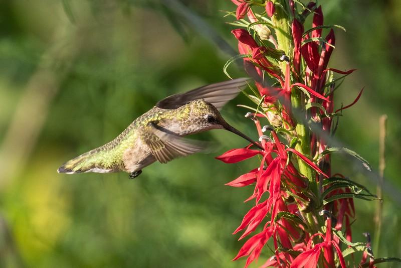 J - Hummingbird on Lobelia