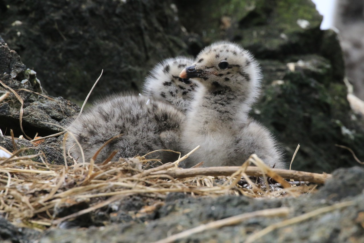 M - Kittiwake chicks alert