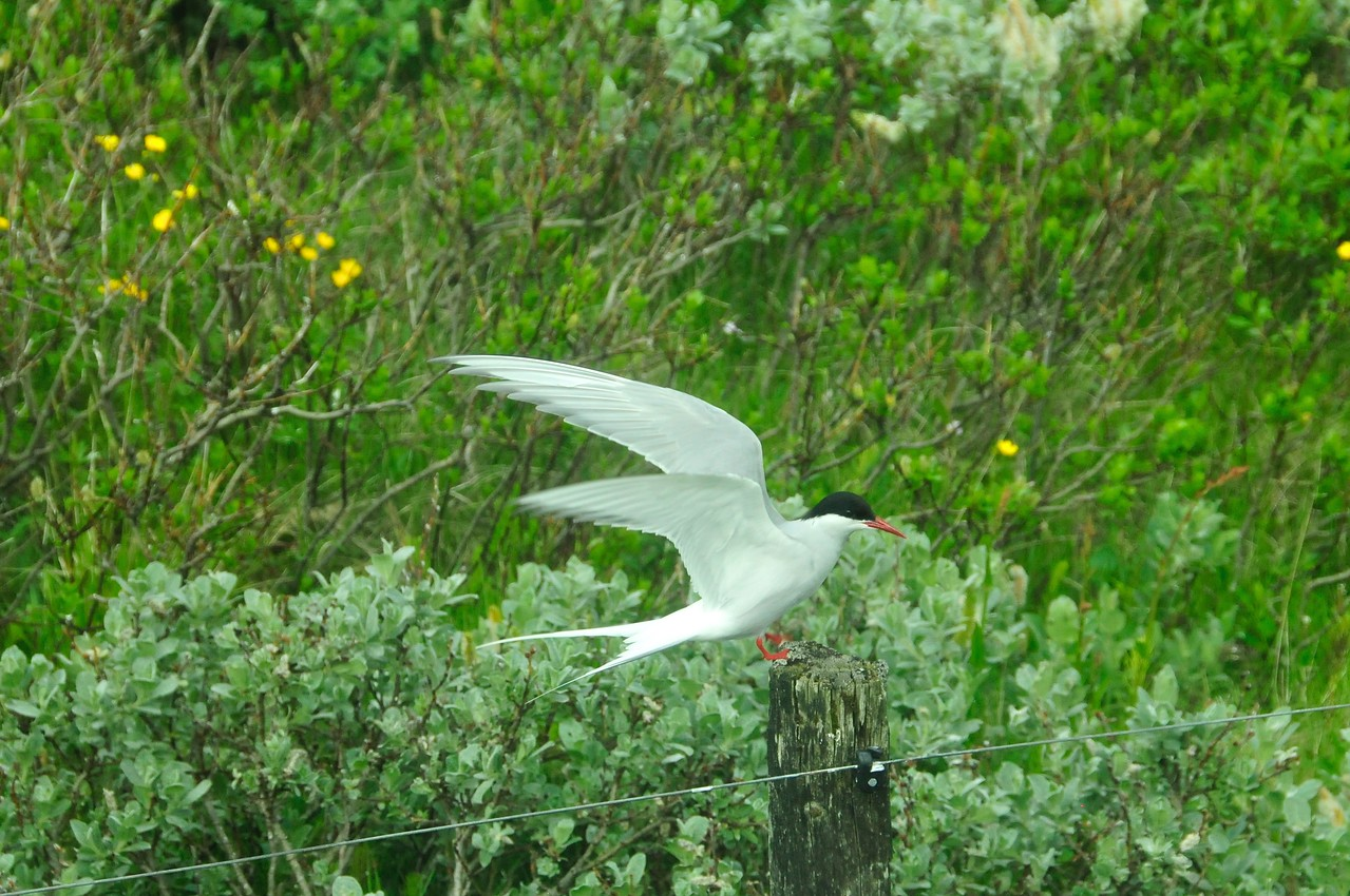 W - 04 Arctic tern at nesting site