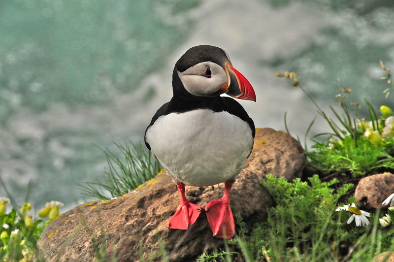 W - 11 Another posing puffin