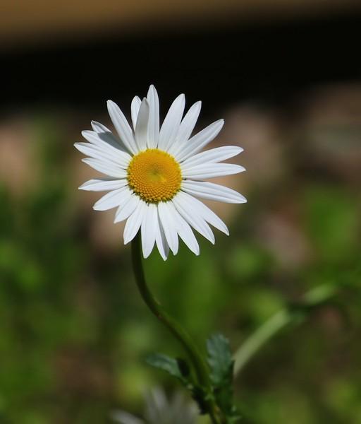 B - Resurrected Daisy