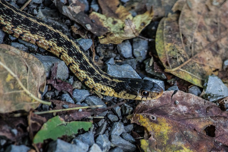 J - Ribbon Snake near the Potomac