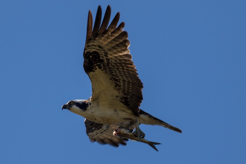 J - Osprey with dinner