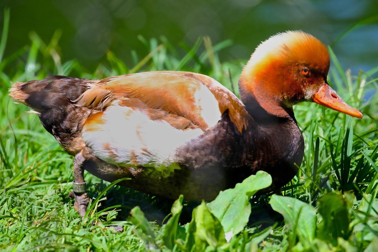B - unknown duck 2