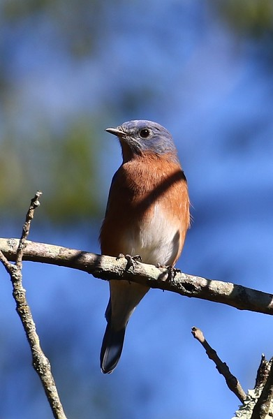 B - Fall bluebird