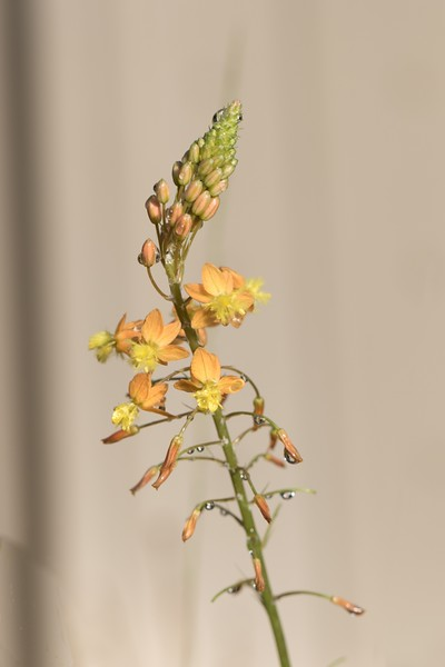 J - Bulbine frutescens