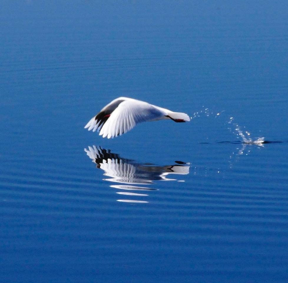 W - Brown headed gull take off