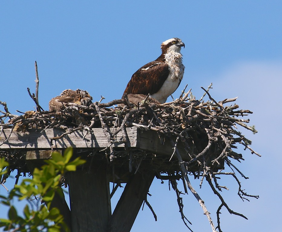 B - Nesting Osprey
