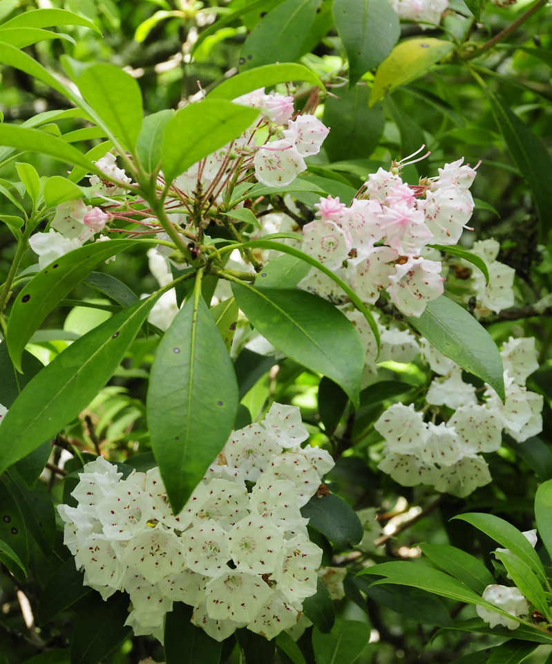 W - 9 Mountain Laurel at Shenandoah NP