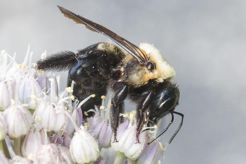 J - Bee on Allium