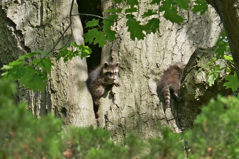 W - 1 Baby raccoons in den in Winnetka