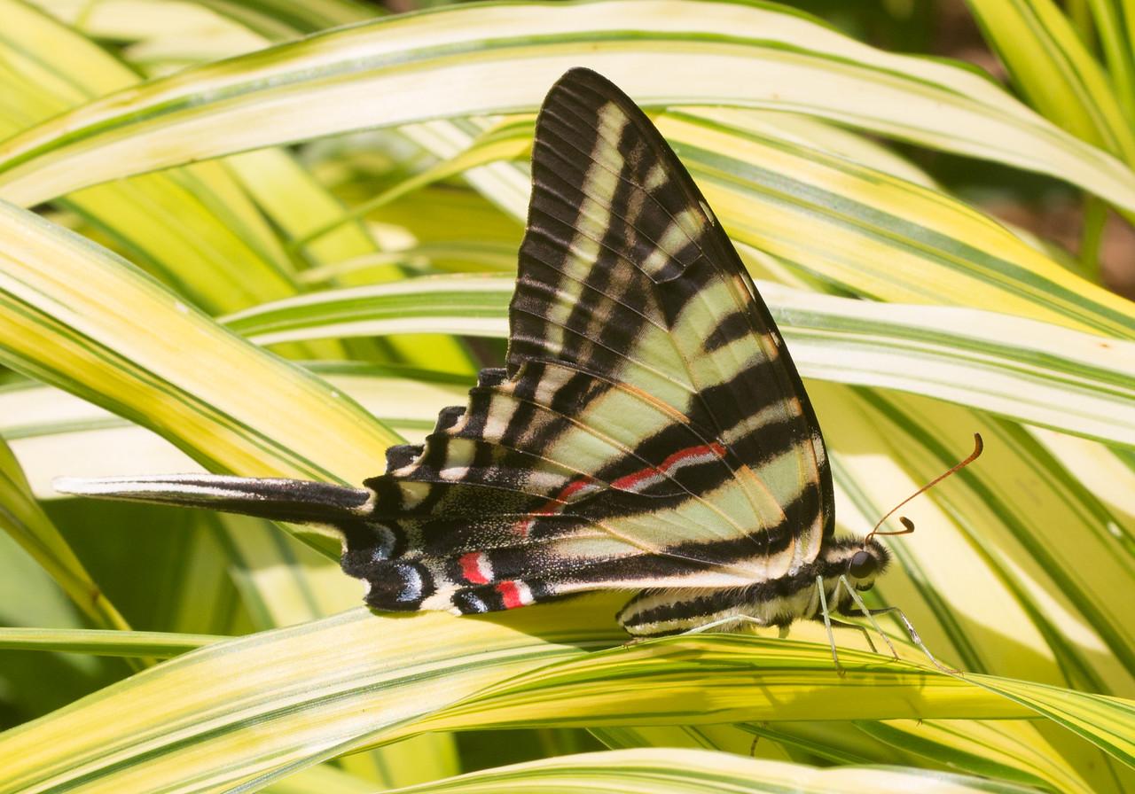 J - Zebra Swallowtail