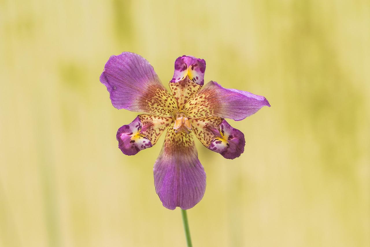 J - Alophia drummondi (Pine Woods Lily)