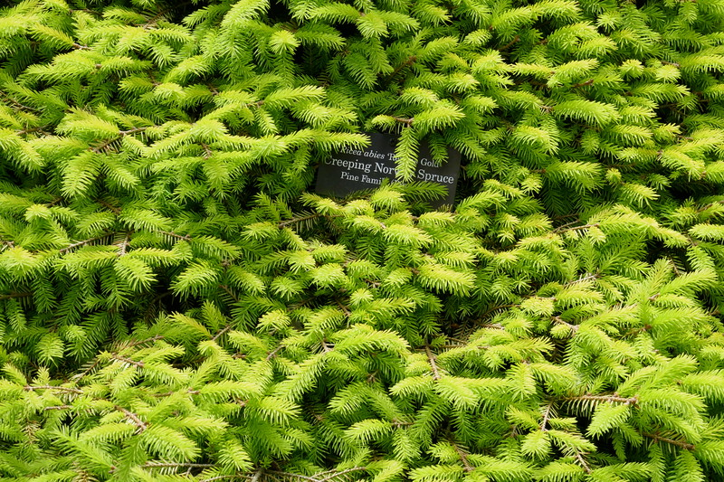 W - 2 Spruce ground cover - Chi Bot Gardens