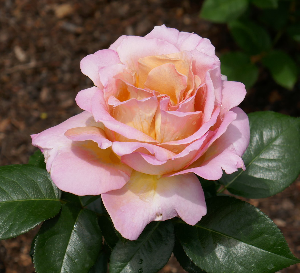 W - 3 Accurate color of rose at Chi Bot Gardens