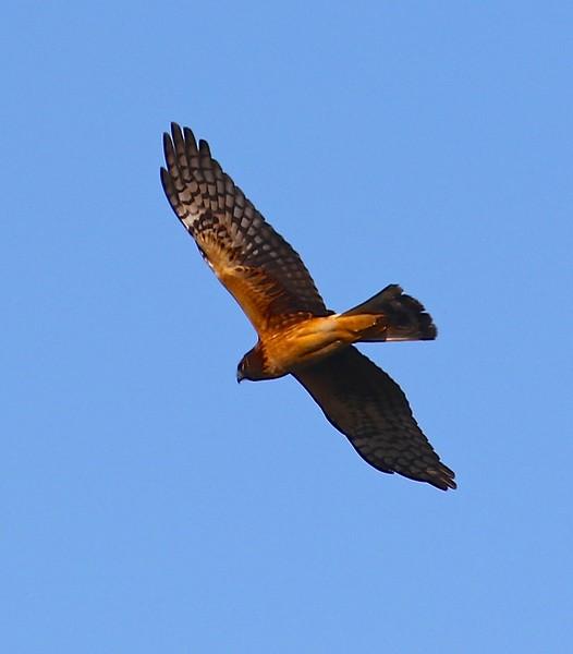 B - Northern Harrier