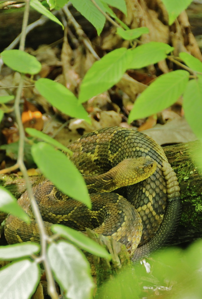 W - 8 Timber rattlesnake at Shenandoah NP
