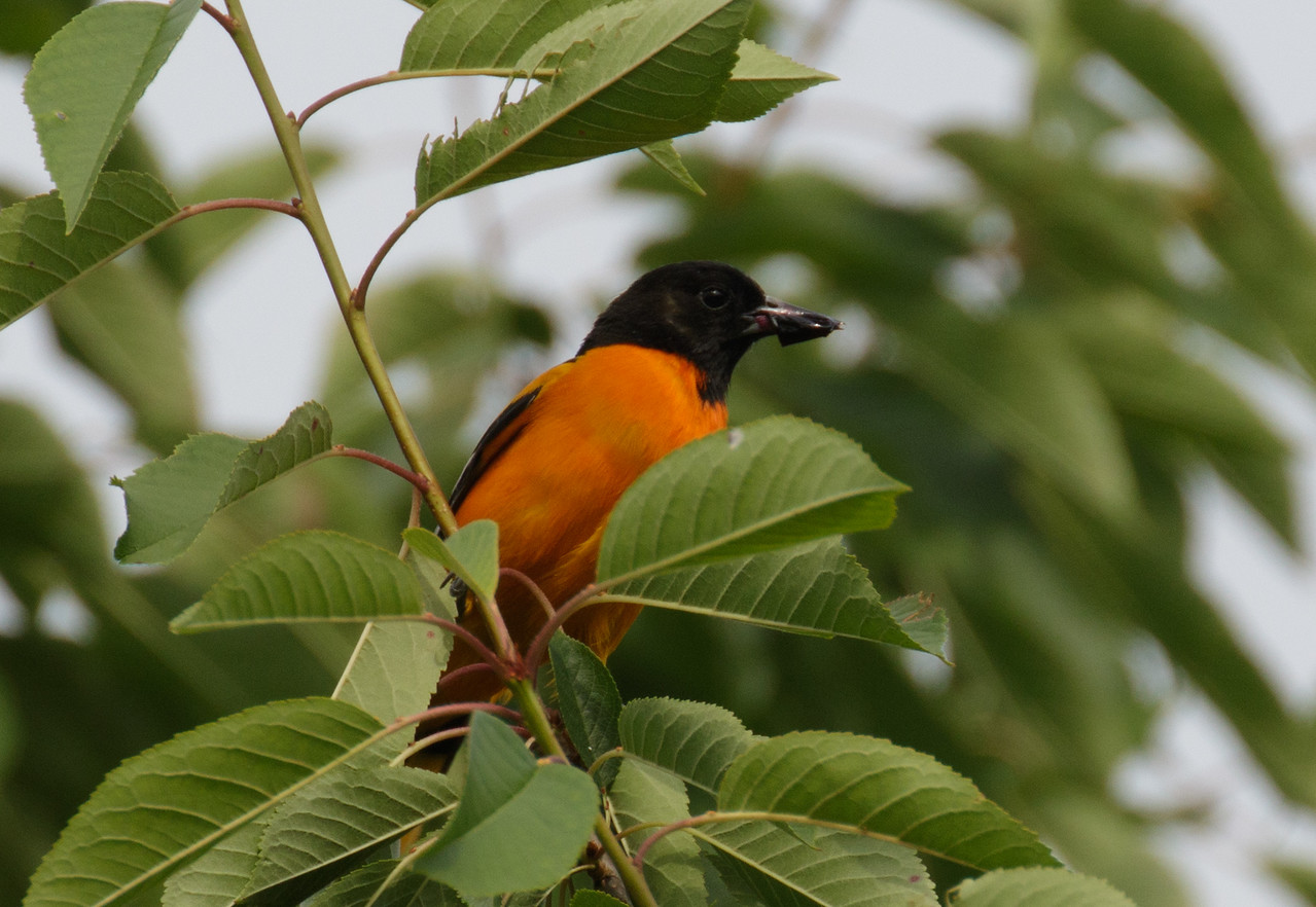 J - Baltimore Oriole eating cherries