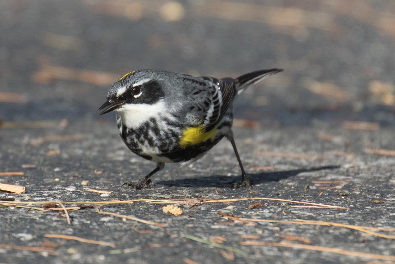 J - Yellow-rumped Warbler