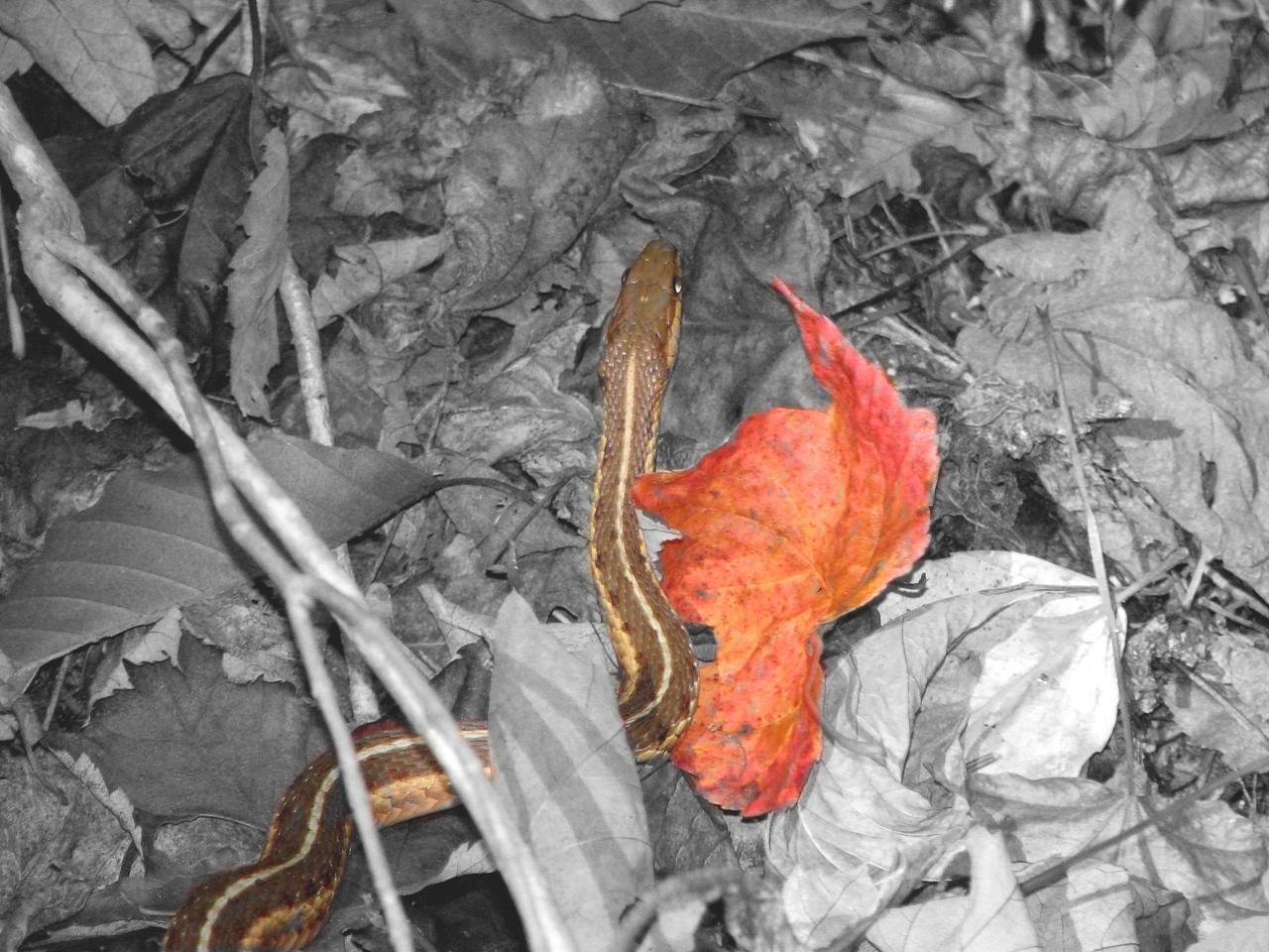 snakeleaf