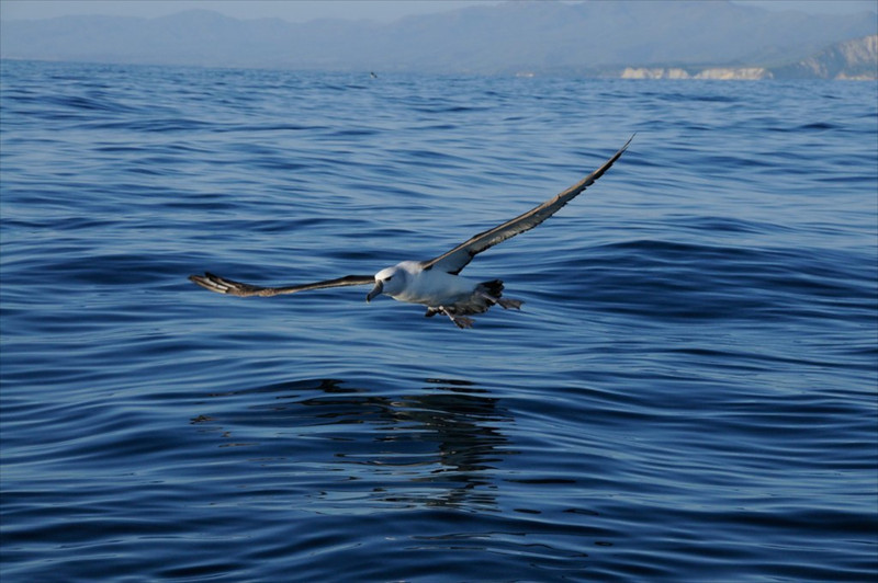 W Albatross--New Zealand
