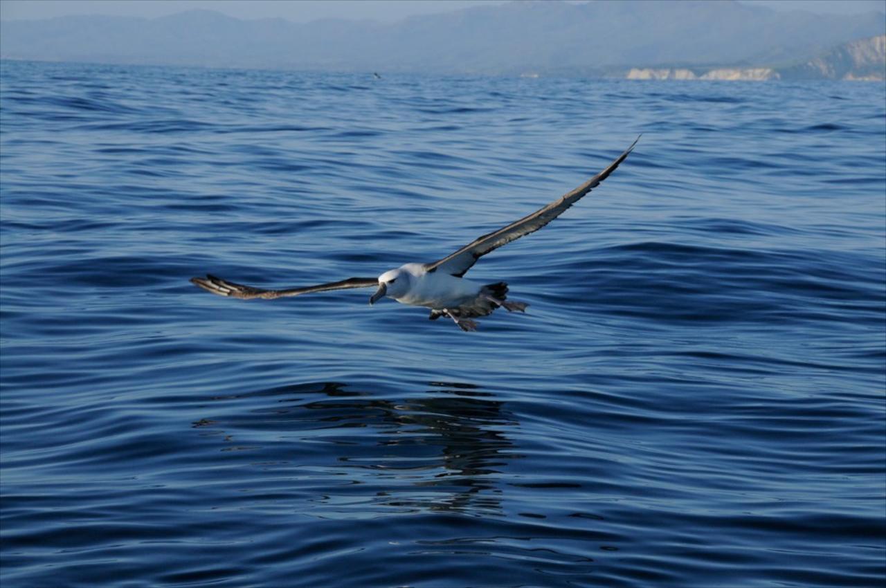 W Albatross--New Zealand