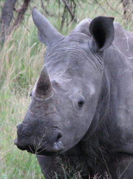 Rhino copy