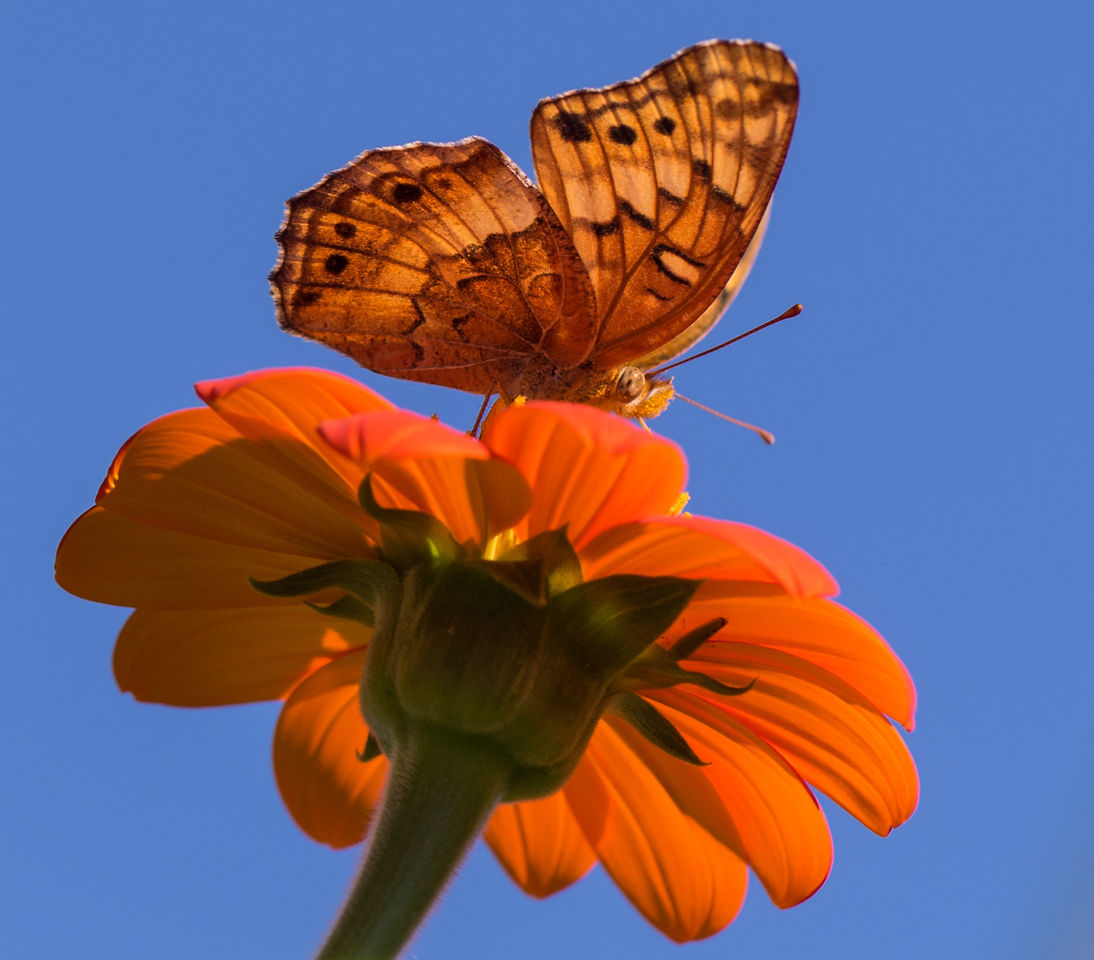 J - Butterfly on Tithonia