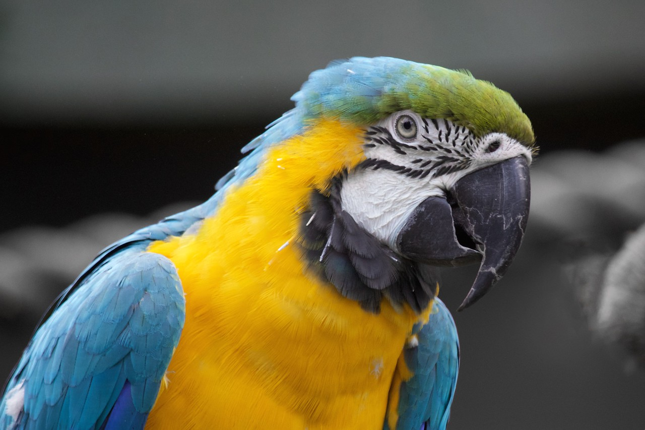 J - Blue and Yellow Macaw v2