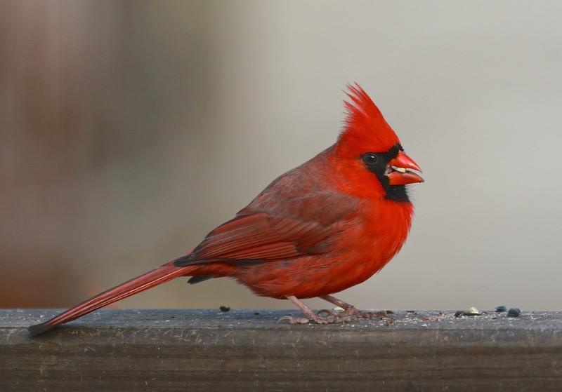 B - Cardinal