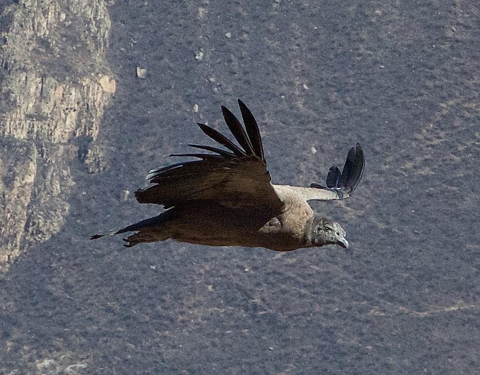 M -  Colca Canyon Condor