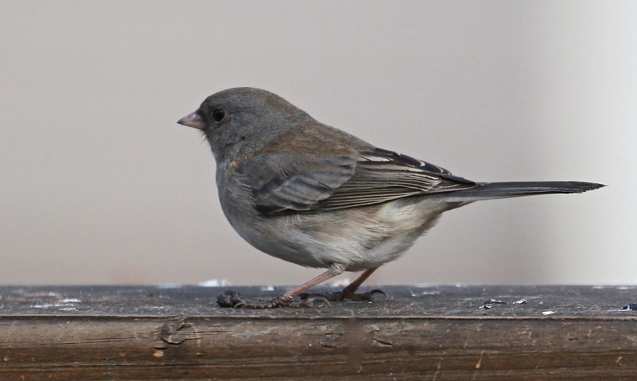 B - Common finch
