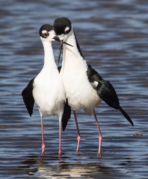 J - Black-necked Stllt couple