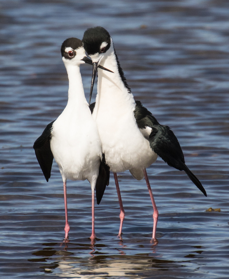 J - Black-necked Stllt couple